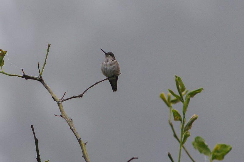 Texas Winter Hummingbirds